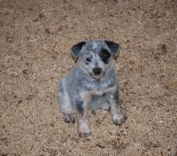 Australian Cattle Dog Puppies for sale in Fort Collins, CO, USA. price: NA