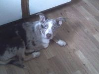 Australian Cattle Dog Puppies for sale in Deer Park, WA 99006, USA. price: NA