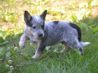 Australian Cattle Dog Puppies for sale in Seattle, WA 98103, USA. price: NA