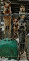 Australian Cattle Dog Puppies for sale in Fort Wayne, IN, USA. price: NA