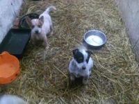 Australian Cattle Dog Puppies for sale in Washington, DC, USA. price: NA