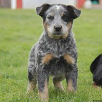 Australian Cattle Dog Puppies for sale in Campus Drive, Stanford, CA 94305, USA. price: NA