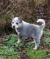Australian Cattle Dog Puppies for sale in Waynesburg, KY 40489, USA. price: NA