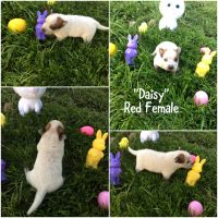Australian Cattle Dog Puppies for sale in Four Oaks, NC 27524, USA. price: NA
