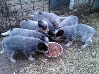 Australian Cattle Dog Puppies for sale in Glasgow, KY 42141, USA. price: NA