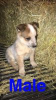 Australian Cattle Dog Puppies for sale in Lima, OH, USA. price: NA