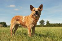 Australian Cattle Dog Puppies for sale in Houston, TX 77001, USA. price: NA