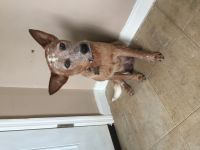 Australian Cattle Dog Puppies for sale in Piqua, OH 45356, USA. price: NA