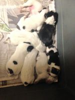 Australian Cattle Dog Puppies for sale in Henderson, NC, USA. price: NA