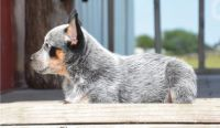 Australian Cattle Dog Puppies for sale in Tecate, CA 91987, USA. price: NA