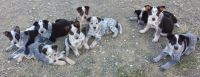 Australian Cattle Dog Puppies for sale in Wheatland, CA 95692, USA. price: NA
