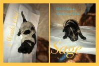 Australian Cattle Dog Puppies for sale in Oronogo, MO 64855, USA. price: NA