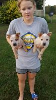 Australian Cattle Dog Puppies for sale in Marengo, OH 43334, USA. price: NA