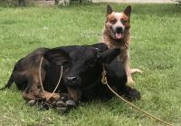 Australian Cattle Dog Puppies for sale in Gonzales, LA 70737, USA. price: NA