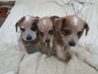Australian Cattle Dog Puppies for sale in Chicago, IL, USA. price: NA