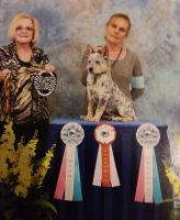 Australian Cattle Dog Puppies for sale in Virgilina, VA 24598, USA. price: NA