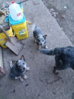 Australian Cattle Dog Puppies for sale in Henderson, NY 13650, USA. price: NA