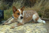 Australian Cattle Dog Puppies for sale in Alamosa, CO 81101, USA. price: NA