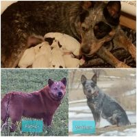 Australian Cattle Dog Puppies for sale in Elgin, IA 52141, USA. price: NA