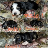 Australian Cattle Dog Puppies for sale in Upton, KY 42784, USA. price: NA