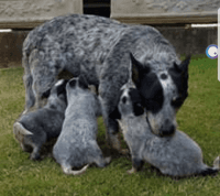Australian Cattle Dog Puppies for sale in Georgetown, TX, USA. price: NA