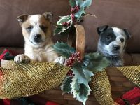 Australian Cattle Dog Puppies for sale in Milan, IN 47031, USA. price: NA