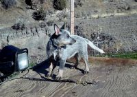 Australian Cattle Dog Puppies for sale in Manassa, CO, USA. price: NA