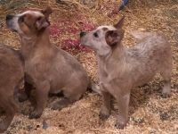 Australian Cattle Dog Puppies for sale in Lansing, MI, USA. price: NA