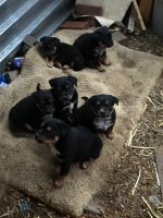 Australian Cattle Dog Puppies for sale in Oxnard, CA, USA. price: NA