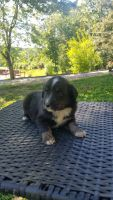 Australian Cattle Dog Puppies for sale in Princeton, KY 42445, USA. price: NA