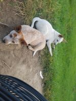 Australian Cattle Dog Puppies for sale in Ubly, MI 48475, USA. price: NA