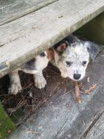 Australian Cattle Dog Puppies for sale in Elizabeth City, NC 27909, USA. price: NA