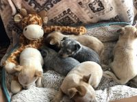 Australian Cattle Dog Puppies for sale in Guymon, OK 73942, USA. price: NA