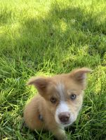 Australian Cattle Dog Puppies for sale in Colorado Springs, CO 80904, USA. price: NA