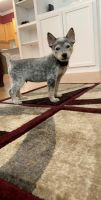 Australian Cattle Dog Puppies for sale in 801 Luther St W, College Station, TX 77840, USA. price: NA
