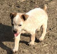 Australian Cattle Dog Puppies for sale in Wills Point, TX 75169, USA. price: NA