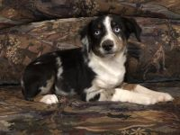 Australian Cattle Dog Puppies for sale in Young Harris, GA 30582, USA. price: NA