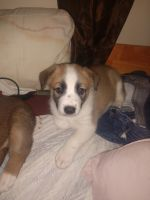 Australian Cattle Dog Puppies for sale in Elko, NV 89801, USA. price: NA