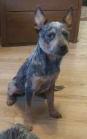 Australian Cattle Dog Puppies for sale in Boardman, OR 97818, USA. price: NA