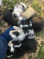 Australian Cattle Dog Puppies for sale in Hubbard, TX 76648, USA. price: NA