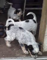 Australian Cattle Dog Puppies for sale in E Yelm Ave, Yelm, WA 98597, USA. price: NA