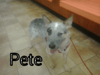 Australian Cattle Dog Puppies for sale in Colonial Dr, Fountain, CO 80817, USA. price: NA