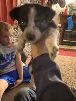 Australian Cattle Dog Puppies for sale in Skiatook, OK, USA. price: NA