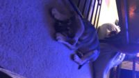 Australian Cattle Dog Puppies for sale in Greencastle, PA 17225, USA. price: NA