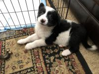 Australian Cattle Dog Puppies for sale in Lake Isabella, CA, USA. price: NA