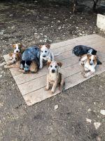 Australian Cattle Dog Puppies for sale in Copperas Cove, TX, USA. price: NA