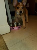 Australian Cattle Dog Puppies for sale in Eglin AFB, FL 32542, USA. price: NA