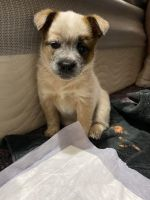 Australian Cattle Dog Puppies for sale in Wellington, CO 80549, USA. price: NA