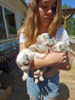 Australian Cattle Dog Puppies for sale in Cottonwood, CA 96022, USA. price: NA