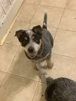 Australian Cattle Dog Puppies for sale in Richmond, MO 64085, USA. price: NA